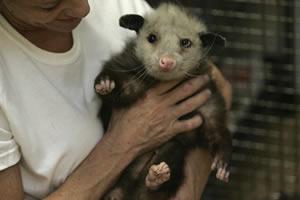 How to sex of a possum