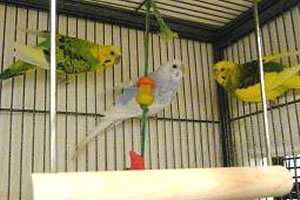 Common: Parakeet Native to: South America Diet: Seeds, fruits and vegetables